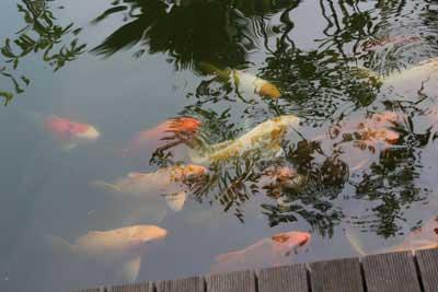 K'bon Kelapa Fish pond